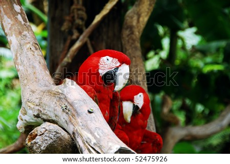 macaw parrots - stock photo