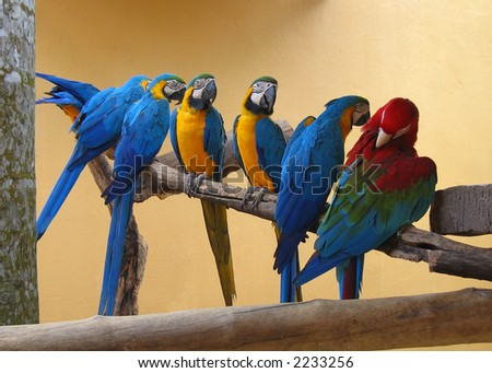 Macaw parrots on a perch. Six blue and yellow macaw(ara ararauna) and one red and green macaw(Ara chloropterus) - stock photo