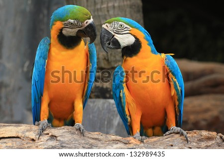 Macaws (blue and yellow macaw) on the nature background