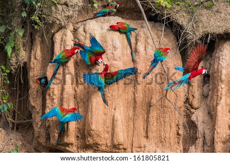 macaws in clay lick in the peruvian Amazonian jungle at Madre de Dios - stock photo