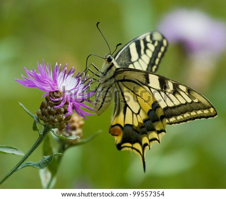 Machaon butterfly on Common Knapweed flower