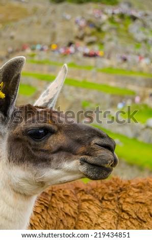 Machu Picchu, Peru - llama in ruins - stock photo
