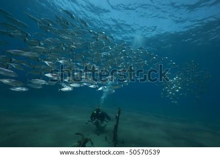 mackerel school feeding - stock photo