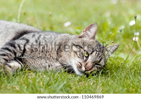 Mackerel Tabby cat lying on the grass - stock photo