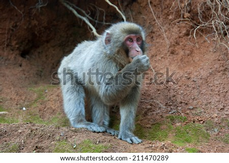 Macque eating dirt - stock photo