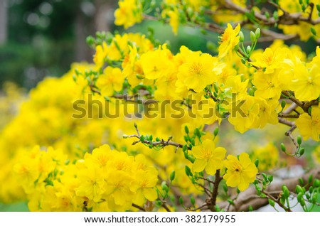 Macro a ochna integerrima integerrima branch, the flowers of traditional Vietnamese new year