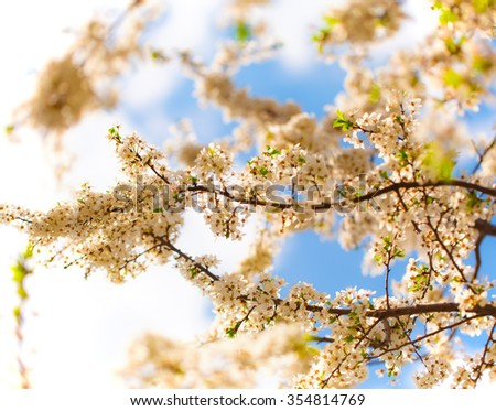 Macro apricot blossom on a blue sky background. - stock photo