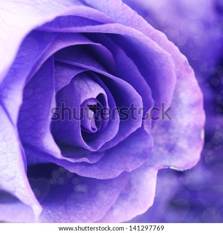 macro background of beautiful violet roses