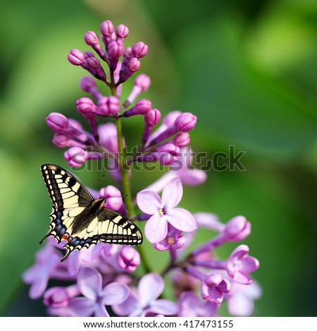 macro, beautiful butterfly on a flower lilac - stock photo