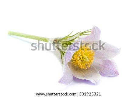 macro beautiful delicate purple flowers snowdrop, isolated on white background - stock photo