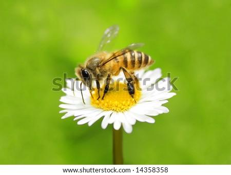 macro bee on camomile - stock photo
