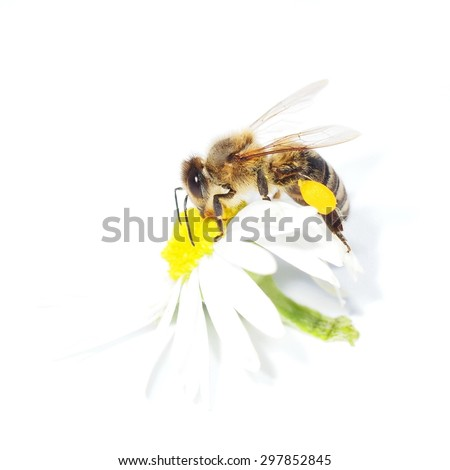 macro bee with pollen on flower daisies isolated on white - stock photo