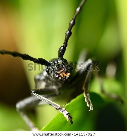 Macro beetle of family Cerambycidae - stock photo