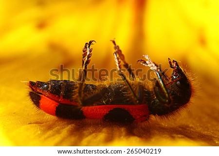 macro beetle on a flower firefighter - stock photo