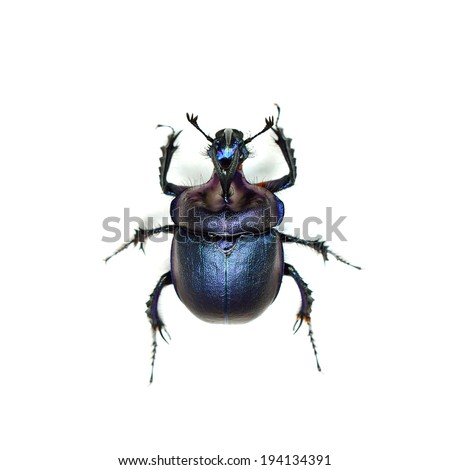 macro blue unicorn beetle isolated on white. top view - stock photo