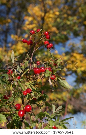 macro bright ripe red rosehip berries on a branch on a background of yellow foliage in the early autumn - stock photo