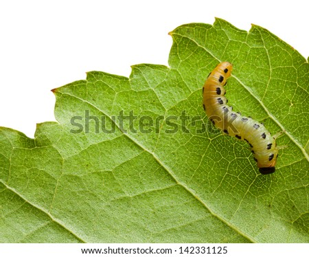 Macro caterpillar on fresh leaf isolated on white  - stock photo