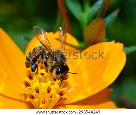Macro Close Up Image Of A Honey Bee (Apis mellifera) Pollinating A Cosmos Flower (Cosmos sulphureus).