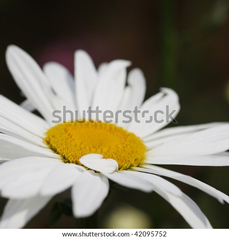 Macro close-up of a daisy flower in field. Shallow DOF. - stock photo