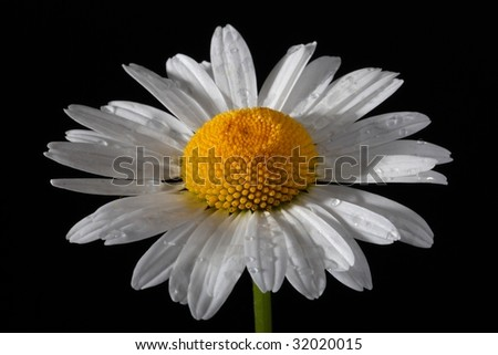 Macro close-up of a daisy flower isolated on black. Shallow DOF, focus on water drops. - stock photo