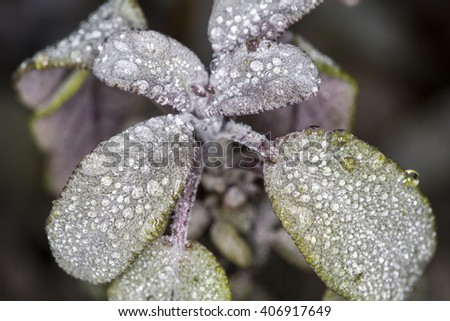 Macro close up of a hairy leaf covered in early morning dew droplets - stock photo