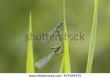 Macro close-up of a male and female blue-tailed damselfly (Ischnura elegans) mating on grass in a colorful meadow. - stock photo