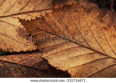Macro close up of Alder tree leaves in fall. - stock photo