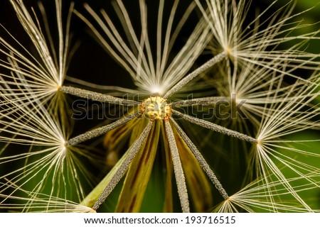 Macro Close-up of dandelion seed - stock photo