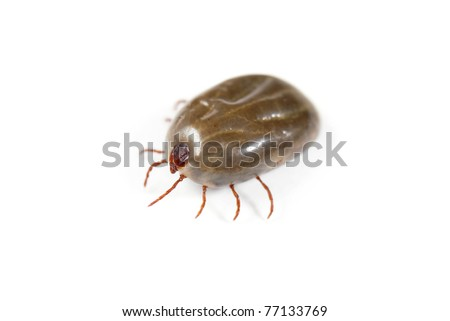 Macro close-up of female tick isolated on a white background - stock photo