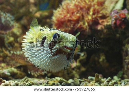 macro close up of porcupine pufferfish. marine fish