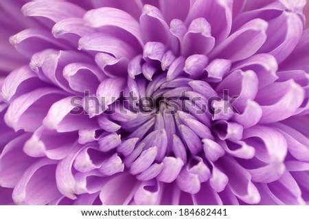 macro close up of purple chrysanthemum flower selective focus - stock photo