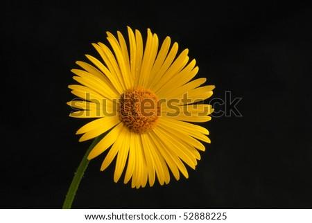 Macro close-up of yellow ox-eye daisy with black backrounds - stock photo