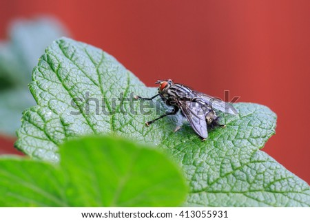 Macro close-up on a Flesh-fly ( Sarcophaga carnaria ) - stock photo