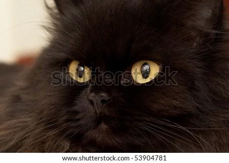 Macro close-up photo of a black cat yellow eyes - stock photo