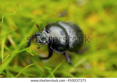 Macro close up photograph of an insect dung beetle (subfamily Scarabaeinae) with head in focus sitting grass - stock photo