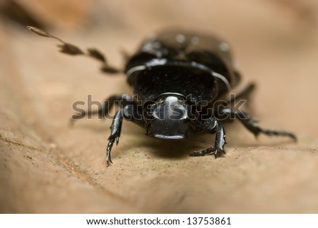 Macro/close-up shot of a black beetle