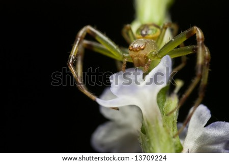 Macro/close-up shot of a crab spider - stock photo