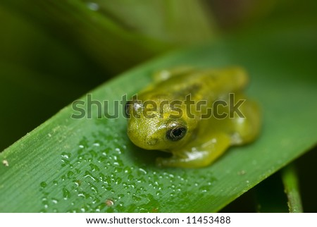 Macro/close-up shot of a gold colored frog on a green leaf
