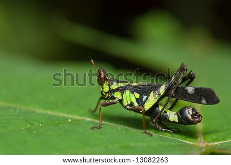 Macro/close-up shot of a grasshopper