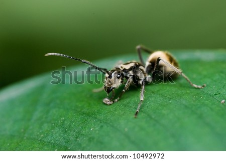 Macro/close-up shot of a grey ant on green leaf