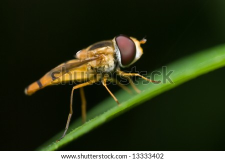 Macro/close-up shot of a hoverfly
