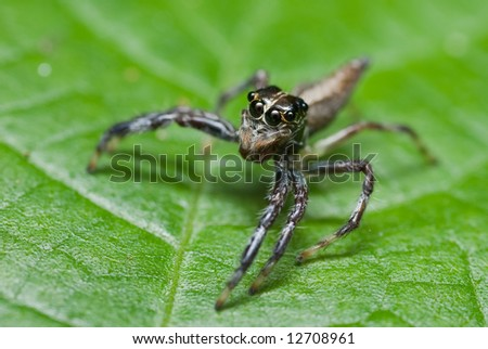 Macro/close-up shot of a jumping spider