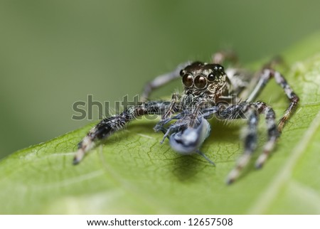 Macro/close-up shot of a jumping spider with prey - a leafhopper