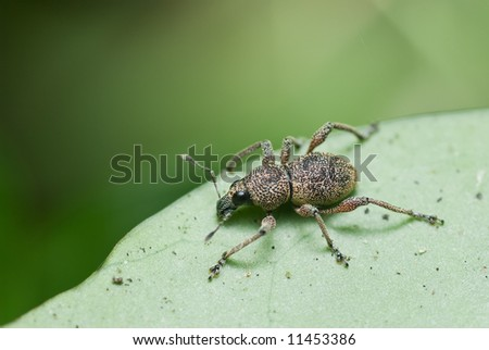 Macro/close-up shot of a weevil beetle on a green leaf