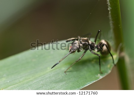 Macro/close-up shot of an ant-mimicking spider