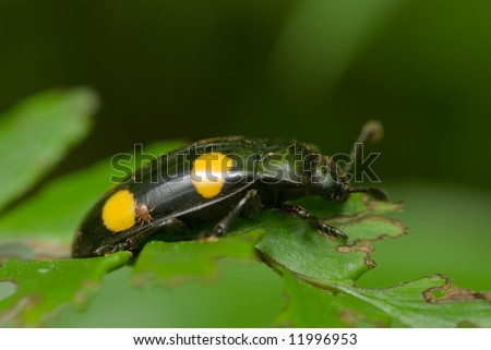 Macro/close-up shot of black beetle with yellow dots