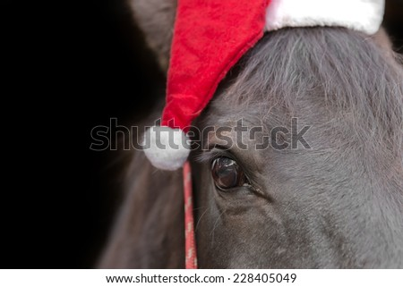 Macro closeup of a black horse head wearing santa hat and red halter isolated on black background to celebrate christmas holiday winter season - stock photo