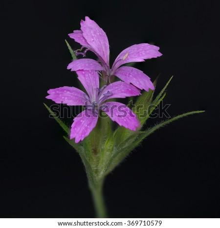 Macro closeup of a Purple Wildflower in a field. - stock photo