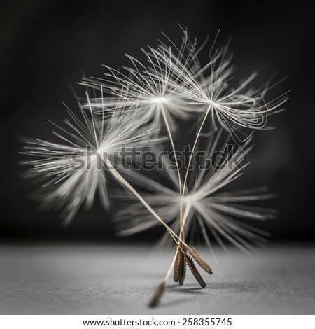 Macro closeup of dandelion seed bunch standing up on gray and black background, square format - stock photo