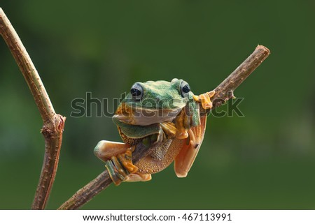 macro closeup of green forest tree frog hanging on a branch